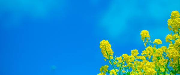 菜の花の風景画