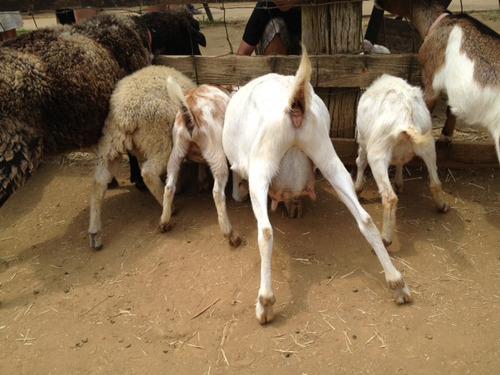 餌に群がる羊