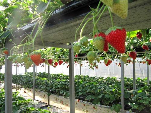 水耕栽培のいちご
