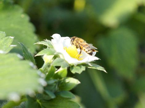 交配をするミツバチ