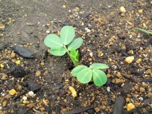 花壇から芽を出した落花生