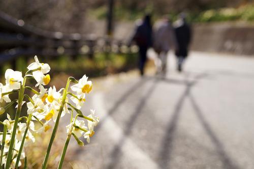 道路脇に咲く水仙