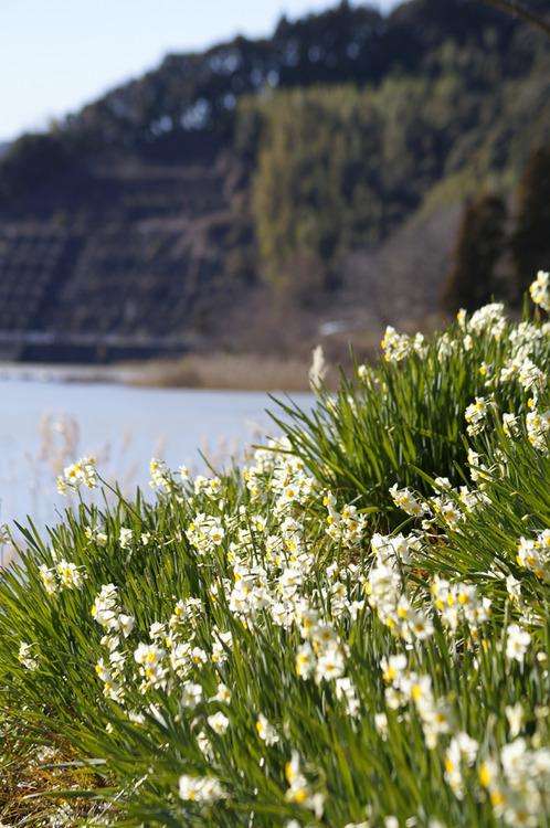 水辺で白く輝く水仙