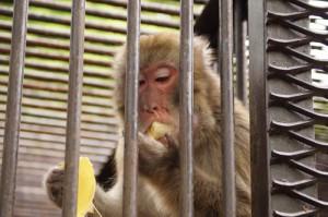 バナナを食べる猿