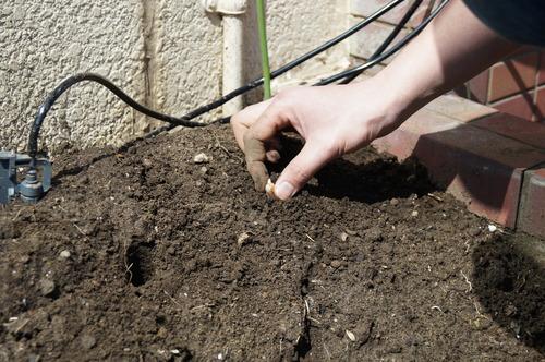 花壇に落花生の種を植える