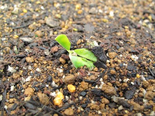 花壇から出てきた落花生の芽