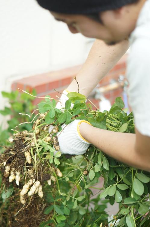 花壇から収穫される落花生