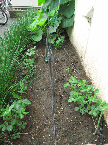 大きく成長した花壇の落花生