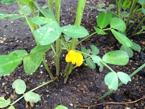 黄色い花を咲かせた落花生