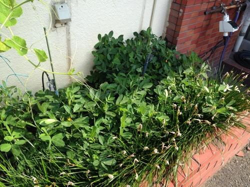 落花生の葉と雑草
