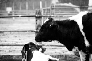 キャンプ場の牛
