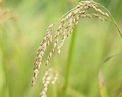 収穫前の稲穂_多古米ブログのサムネイル画像