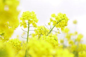 アップで撮った菜の花